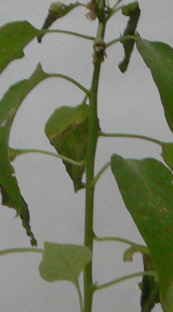 Smaller chili pepper is developing new branches